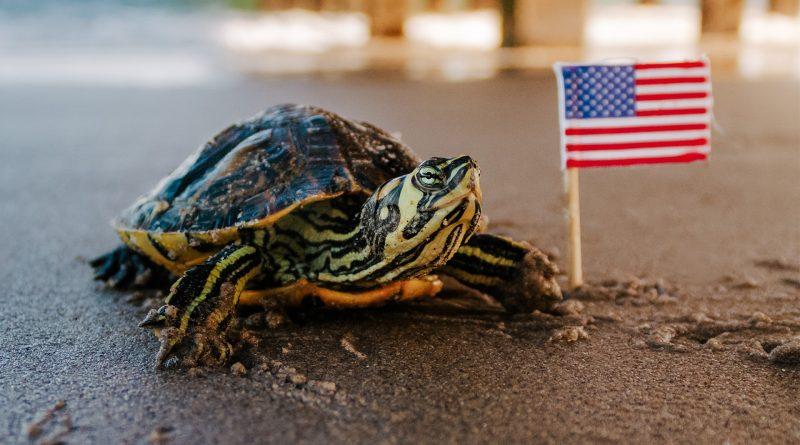 Schildkröte neben einer USA-Flagge
