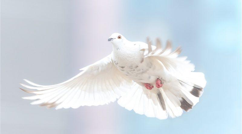 Taube im Flug