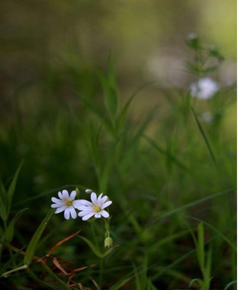 Zwei Gänseblümchen an unteren linken Bildrand, der Rest Gras, unscharf
