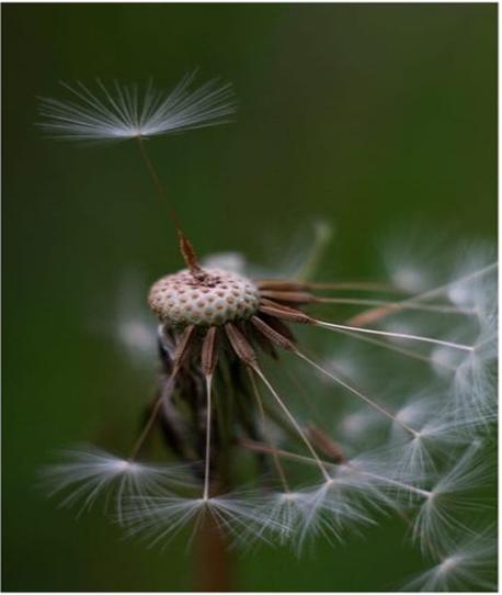 Detailaufnahme einer Pusteblume