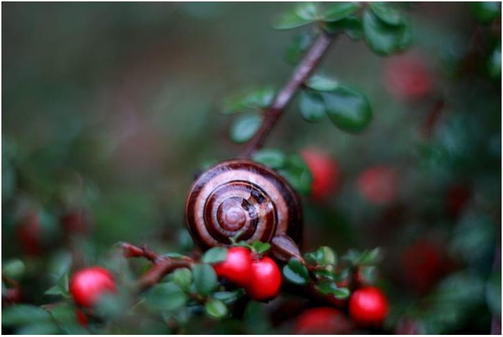 eine Schnecke sitzt auf einem Strauch mit roten Beeren