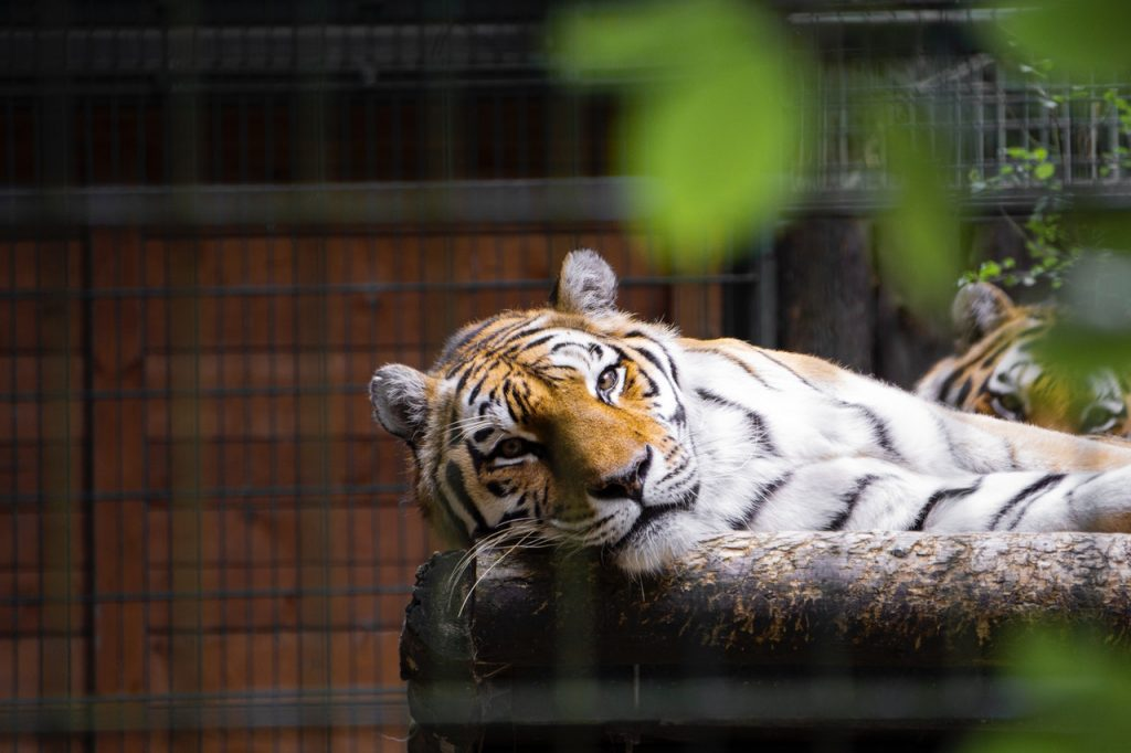 Tiger liegt im Gehege