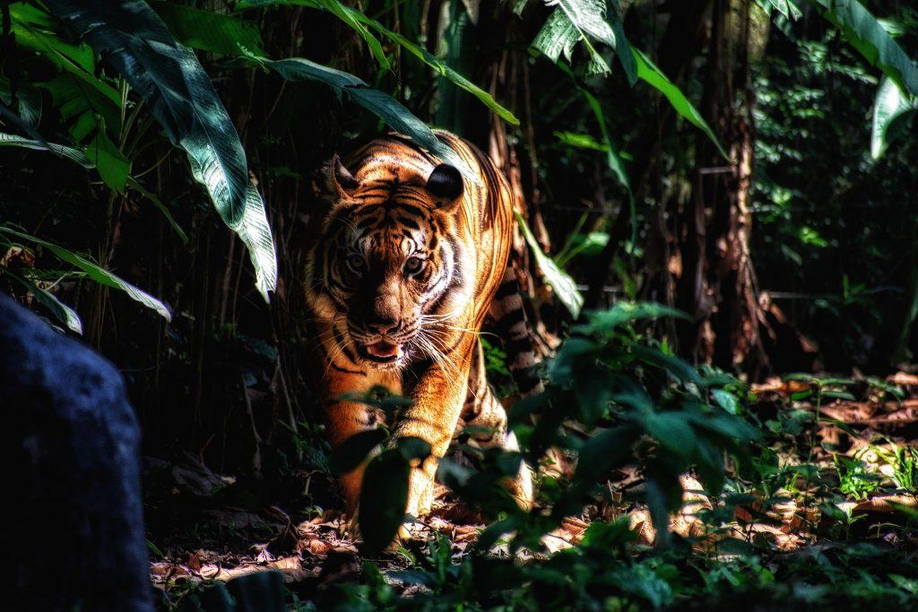 Ein Tiger streift durchs Gebüsch