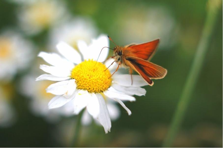 Ein Schmetterling sitzt auf einem Gänseblümchen
