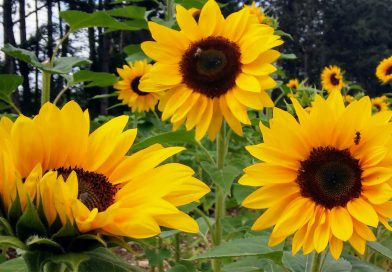 Drei große Sonnenblumen