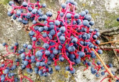 Blaue Beeren an einer Steinmauer