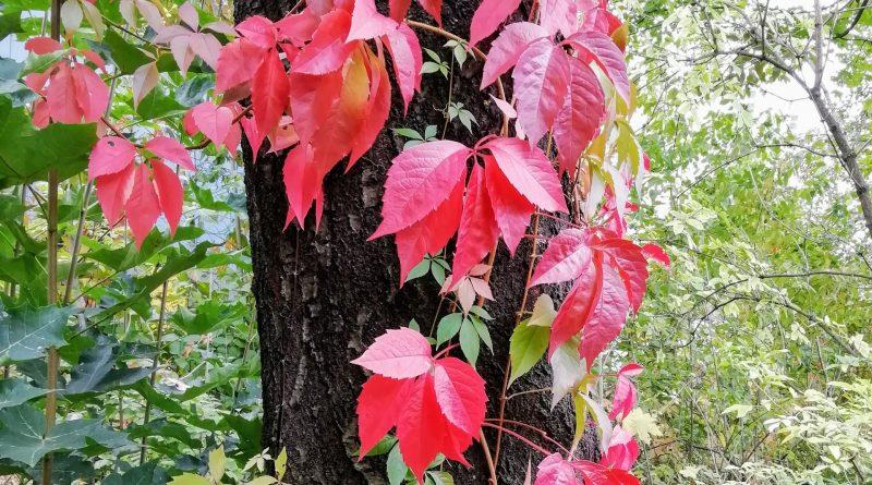 Rote Blätter hängen an einem Baustamm